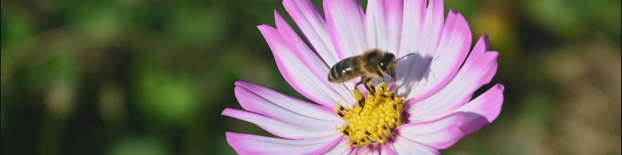 Barbe d'abeilles